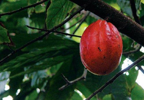 Le chocolat de Baracoa (Cuba)